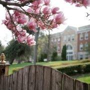 Maharishi School magnolia blossoms